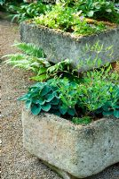 Shady garden planters containing Hostas and Hepaticas placed on gravel - Ivy Croft, Leominster, Herefordshire, UK