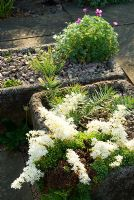 Saxifraga callosa in tufa planter - Ivy Croft, Leominster, Herefordshire, UK