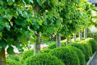Pleached limes with clipped spheres of box below - Ivy Croft, Leominster, Herefordshire, UK