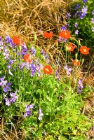 Orange poppies amongst Viola cornuta - Ivy Croft, Leominster, Herefordshire, UK