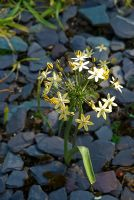 Triteleia ixioides 'Starlight' - Ivy Croft, Leominster, Herefordshire, UK