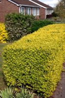Ligustrum ovalifolium 'Aureum' AGM - Golden Privet used as a garden hedge