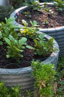 Potatoes growing in a container and protected from pests by wire