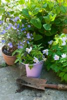 Anemone nemorosa - Wood anenome with lilac pot and Veronica persica - Speedwell