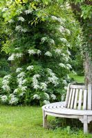 Hydrangea anomala 'Petiolaris' with wooden bench