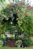 Rosa 'Veilchenblau', Rosa 'Crimson Rambler' climbing on gazebo over seating area