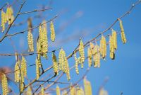 Corylus avellana 'Aurea' catkins in early spring