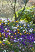 Crocus meadow in spring