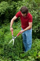 Man clipping Buxus with hand shears