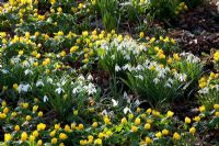 Galanthus nivalis and Eranthis hyemalis - Snowdrops and Winter Aconites naturalised in a woodland garden
