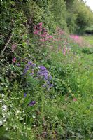 Red Campion - Silene dioica with Hyacinthoides non-scripta - English Bluebells and Greater Stitchwort - Stellaria holostea in a Westcounry hedgerow during spring