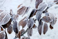 Carpinus betulus - frosted leaves of Hornbeam.