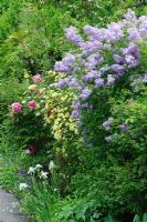 Lilac, Rosa xanthina 'Canary Bird' and tree peonies in mixed border. The Crossing House, Shepreth, Cambridge