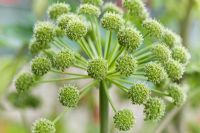 Large flower head of Angelica archangelica