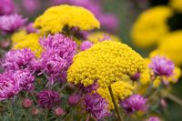 Large yellow flowers of Achillea 'Moonshine' with purple flowers of Aster novae angliae 'Sayer's Croft'