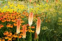 kniphofia 'Tawny King', Helenium 'Sahin's Early Flowerer', Foeniculum vulgare, and yellow flowers of Ratibida pinnata.  The Plant Specialist Nursery, Buckinghamshire