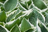 Variegated green and white foliage Hosta 'Francee'