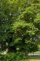 Ulmus procera - Common English Elm