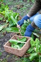 Picking winter greens and winter chard