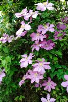 Clematis 'Elsa Spath' in full flower on trellis, Norfolk, England, May