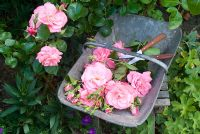 Cutting stems of Rosa 'Marguerite Anne'