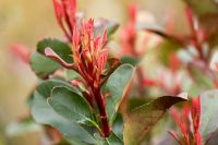 New shoots of Photinia fraseri 'Little Red Robin'