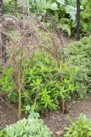 Hazel plant supports for Euphorbia wallichii in Spring, in the herbaceous border at RHS Wisley