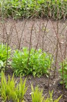 Hazel plant support for Helenium 'Moerheim Beauty' in Spring, in the herbaceous border at RHS Wisley