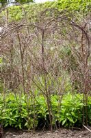 Birch and Hazel plant supports for Alstroemeria brasiliensis in Spring in the herbaceous border at RHS Wisley