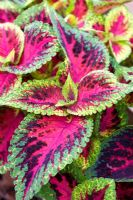 Coleus 'Sun Watermelon'