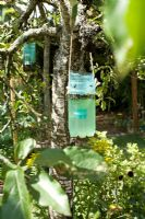 Water-filled plastic bottle suspended in apple tree to catch wasps