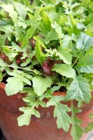 Salad Leaves 'Tuscany Mixed' in clay pot