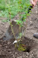 Planting a blackcurrant bush - Ribes Nigrum 'Ben Lomond' - back filling with soil
