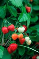 Fragaria - Strawberry 'Honeoye' - RHS Chelsea Flower Show 2011