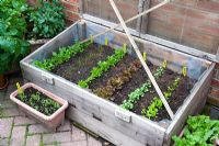 Salads in cold frame - Japanese Greens,  Bunching Onions, Lakeland Lettuce, Lollo Rosso, American Cress and Radicchio - Millpool garden