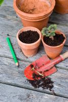 Potting up Pelargonium - Geranium cuttings with child's red trowel