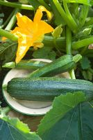 Picked courgette 'Defender' on plate