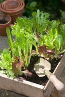 Young mixed salad leaves in seed tray