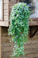 Variegated Hedera - Ivy growing in a hanging basket