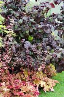 Corylus avellana 'Red Majestic' with Heuchera 'Marmalade' - Heart Healthy Garden, sponsored by Flora pro.activ - BBC Gardeners' World Live 2011