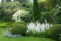 White themed summer border of Hydrangea arborescens 'Annabelle', Delphinium, Buxus sempervirens, Stachys byzantina
