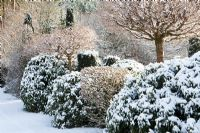 Acer platanoides 'Globosum', Malus and Rhododendron covered in snow