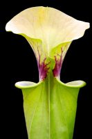 Sarracenia flava - Pitcher Plant