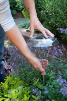Placing a solar light into a planter, surrounded by Nepeta 'Walkers Low' - Catmint
