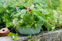 Alpine strawberries in tin container