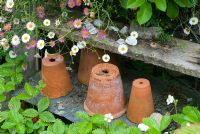 Old clay pots with Erigeron karvinskianus