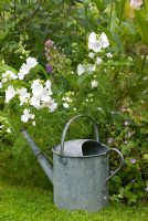 Aluminium watering can with flower border and Malva moschata 'alba'