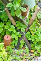 Old garden shears with clay pots and wild alpine strawberry plants