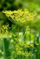 Anethum graveolens -  Dill flowers.