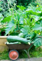 Child's wheelbarrow with overgrown Courgettes